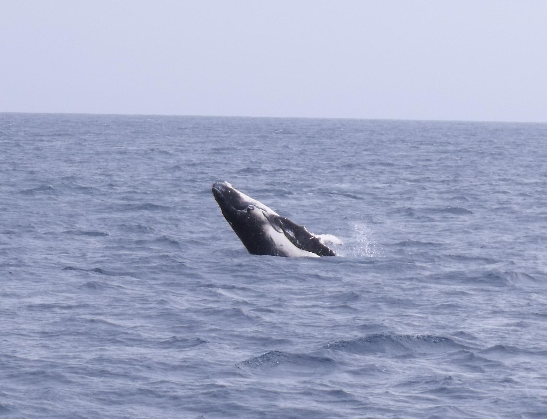 Australian snubfin dolphin - photo#28
